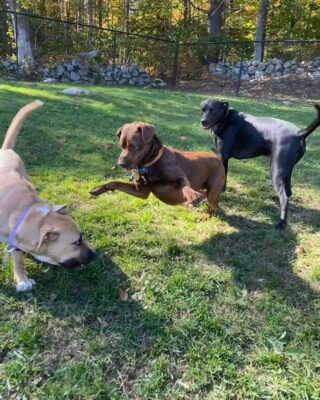 Ripley, Jackson, and Lucy having a blast today!  Here at Lakes Region Pet Resort, we also offer dog training, doggy daycare, boarding (for dogs 🐶 and cats 🐱), and a special service called in-home boarding for certain dogs such as older dogs or dogs that need more attention than most. We also offer the option of a board and train so your pets can learn while you're away.   Call or email us to schedule your pet's next stay!  .  .  .  #doggyday #doglife #lifewithdogs #itsarufflife #doggydaycarelife #dogbehavior #caninebehavior #dogpack #lifeofadog #dogsoftheday #dogsofinsta #dogsforlife #meredith #lakewinnipesaukee #gooddogs #lakelife #doggolife #doggosofinsta #dogsofinstagram #puppies #dogtraining #obediencetraining