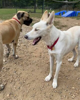 Riley and Beckett becoming fast friends!  Here at Lakes Region Pet Resort, we also offer dog training, doggy daycare, boarding (for dogs 🐶 and cats 🐱), and a special service called in-home boarding for certain dogs such as older dogs or dogs that need more attention than most. We also offer the option of a board and train so your pets can learn while you're away.   Call or email us to schedule your pet's next stay!  .  .  .  #doggyday #doglife #lifewithdogs #itsarufflife #doggydaycarelife #dogbehavior #caninebehavior #dogpack #lifeofadog #dogsoftheday #dogsofinsta #dogsforlife #meredith #lakewinnipesaukee #gooddogs #lakelife #doggolife #doggosofinsta #dogsofinstagram #puppies #dogtraining #obediencetraining